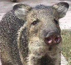 A Javelina